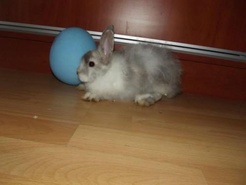 króliki angora i gładki