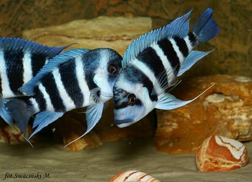 Ryby Tanganika