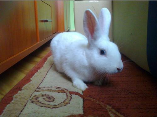 Pilnie sprzedam królika miniaturkę!!
