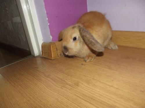 królik baranek