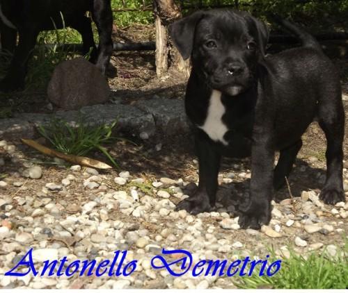 Staffordshire Bull Terrier szczenięta