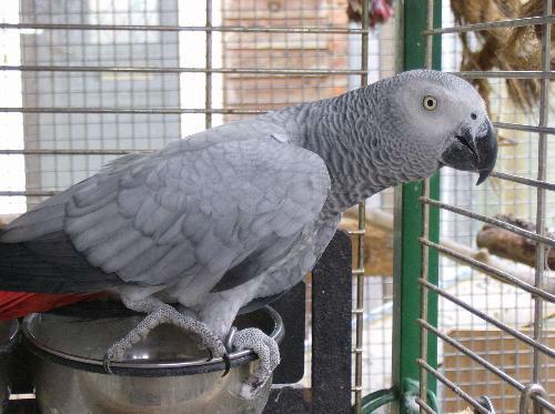 dobrze wyszkolony Kongo african szary papuga do przyjęcia