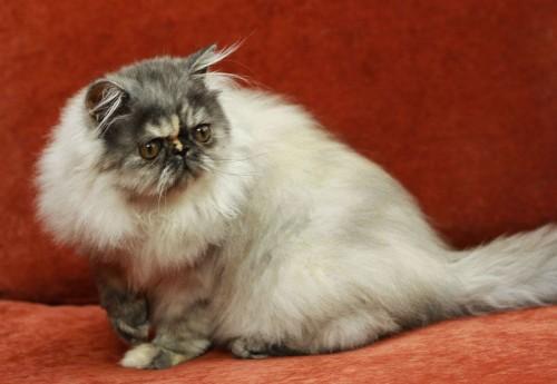 Kociaki perskie w rzadkich kolorach: dymne i cameo
