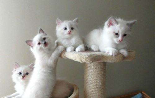 Kochane kocięta ragdoll hodowla Teo-Cat*PL