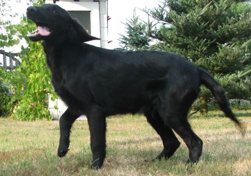 Labrador nie!! FLAT COATED RETRIEVER