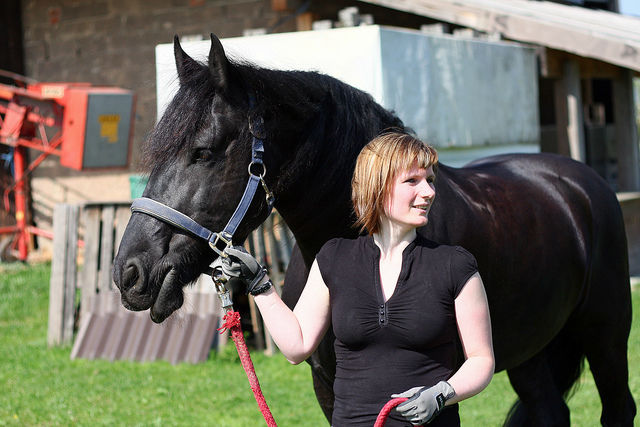 BLACK FRISIAN HORSE3