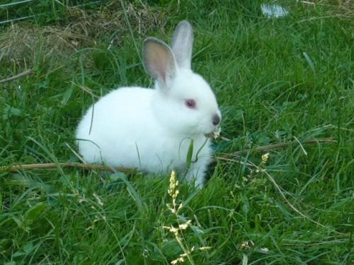 Królik króliki młode .