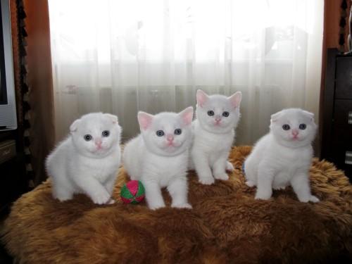 Scottish Fold kocięta