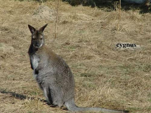 Kangury Walabia Bennetta