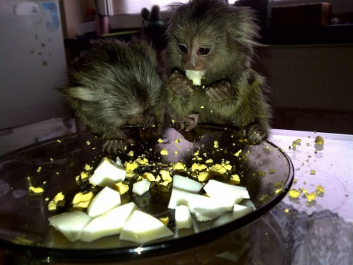 małpka marmozeta białoucha