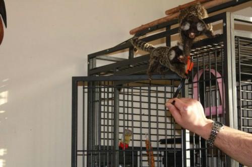 małpka marmozeta białoucha zwyczajna