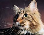 Hodowla  koty rasy Maine Coon