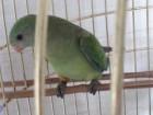 sprzedam papuge