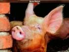 chów świń