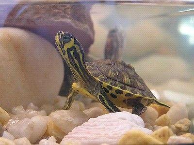 Sprzedam – młodego żółwika