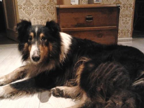 Radom pies typu Collie