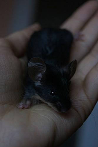 Hodowla Anazel — myszy rasowe na sprzedaż