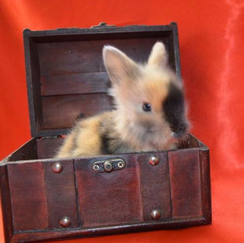 Króliki miniaturowe Karzełek Teddy