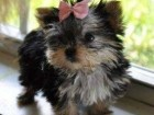 2-cute-yorkie-puppies-for-adoption--4fc36a4b9424b9141347