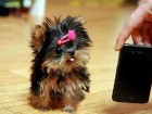 cute-teacup-size-yorkie-puppies-ready_1_large
