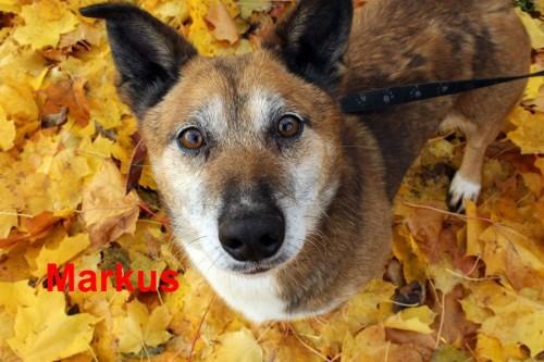 Cudowny, spokojny, kochany pies Markus czeka na domek