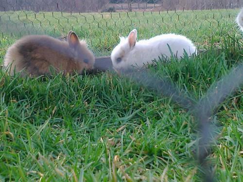 sprzedam dwa króliki miniaturki