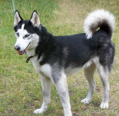 GRANT cudowny husky do adopcji