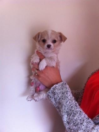 wspaniałe szczenięta Chihuahua na sprzedaż KC REG
