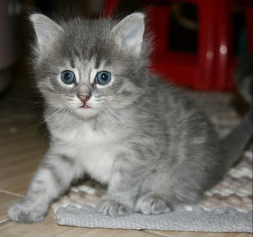 NIebiesko cieniowana koteczka z Hodowli Little Great Ones