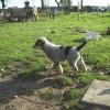 Australian Cattle Dog - Zdjęcie 2