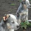 Australian Cattle Dog - Zdjęcie 3