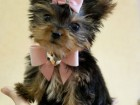 teacup_yorkie_pink_bow