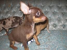 Kennel Club Zarejestrowany Chihuahua