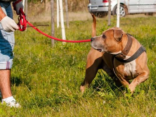 Pinio, to ok. 6-7-letni duży, silny pies w typie amstaffa.
