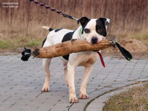 Krówek, to około 8 letni psiak w typie amstaffa.