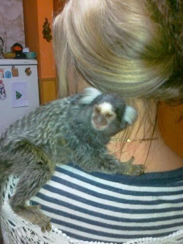 małpka marmozeta