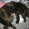 Mamba - szylkretowa młoda koteczka do adopcji - Zdjęcie 2