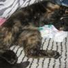 Mamba - szylkretowa młoda koteczka do adopcji - Zdjęcie 3