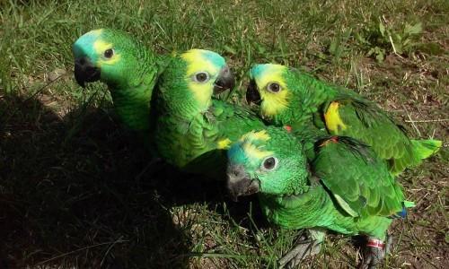 Amazonki Niebieskoczelne