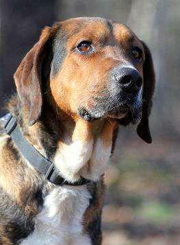 BALTAZAR pies w typie ogara- stróż doskonały- DO PILNEJ ADOPCJI!